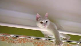 在窗帘杆的白色猫 免版税库存照片
