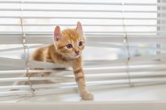 在窗帘缠结的姜小猫 免版税库存照片