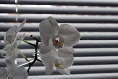 在窗帘背景的兰花  库存照片
