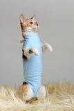 在站立在后腿的衬衣的逗人喜爱的猫 库存图片