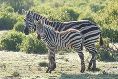 在站立在母亲旁边的外形的斑马驹 图库摄影