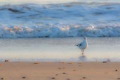 在站立在的海岸美丽的白色鸥的冬天自然 免版税库存照片