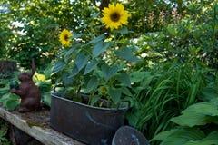 在站立在长凳的罐的向日葵 免版税库存照片