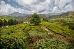 在站立在青山附近的茶园的领域的偏僻的树在风景天空下 免版税库存图片
