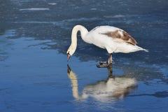 在站立的白色天鹅在冰 图库摄影