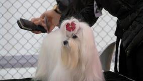 在竞争的马耳他狗 影视素材
