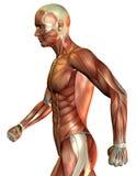 在端的人肌肉 免版税库存图片