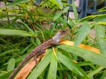 在竹叶子居住的一只室外蜥蜴 库存图片