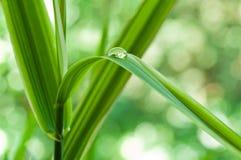 在竹叶子的雨珠 免版税库存照片