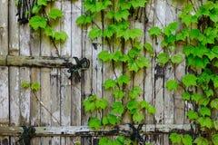 在竹墙壁庭院,篱芭,禅宗的藤 免版税库存照片