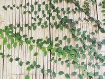 在竹墙壁概念自然背景的常春藤 免版税库存照片