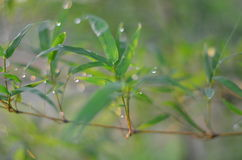 在竹子叶子和太阳轻的背景的雨下落 库存照片