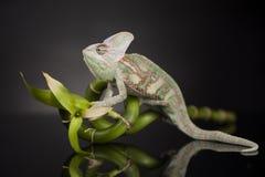 在竹子的变色蜥蜴在黑背景 免版税图库摄影