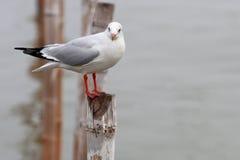 在竹子的海鸥立场 免版税库存照片