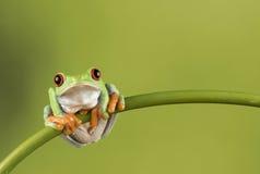 在竹子的红眼睛的雨蛙 库存照片