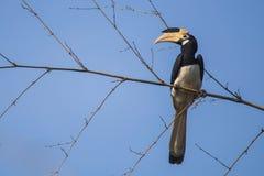 在竹子的马拉巴尔染色犀鸟 库存照片