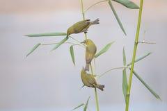 在竹子的鸟 免版税库存照片