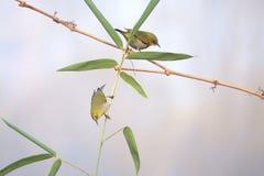 在竹子的鸟 免版税库存图片