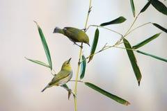 在竹子的鸟 图库摄影