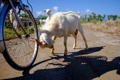 在竹富岛海岛上的山羊 库存照片