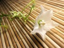 在竹席子的开花的Vallaris glabra花 库存照片