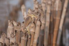 在竹棍子的苍鹭立场 免版税库存图片