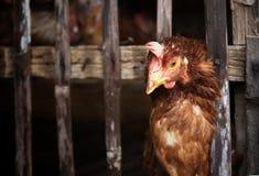 在竹笼子的鸡 免版税库存照片