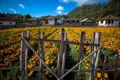 在竹篱芭-巴厘岛后的万寿菊领域 免版税库存图片