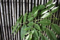在竹纹理背景的绿色叶子 免版税图库摄影