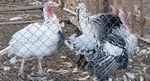 在笔内的两只火鸡 免版税图库摄影