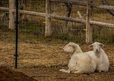 在笔的头发绵羊在博伊西爱达荷 免版税图库摄影