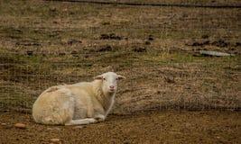 在笔的头发绵羊在博伊西爱达荷 免版税库存图片