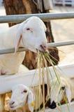 在笔的山羊 免版税库存照片
