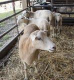 在笔的绵羊 免版税图库摄影