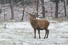 在第一场冬天雪风暴的大马鹿 库存图片