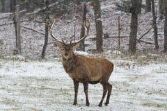 在第一场冬天雪风暴的大马鹿 库存照片