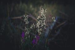 在第一太阳光芒的白色和淡紫色花伊冯茶Chamaenerion 黎明在森林沼地 r ?? 图库摄影