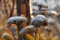 在第一棵欧蓍草的早晨霜在秋天开花 免版税图库摄影