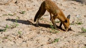 在第一狩猎的小狗 影视素材