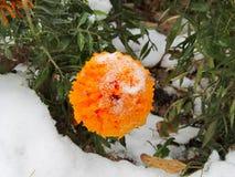 在第一降雪以后的花Tagetes 免版税库存图片