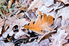 在第一雪下的一片橡木叶子 库存图片