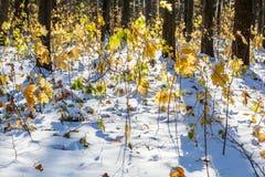 在第一雪下的秋天森林 33c 1月横向俄国温度ural冬天 库存照片