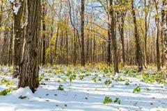 在第一雪下的秋天森林 33c 1月横向俄国温度ural冬天 库存图片