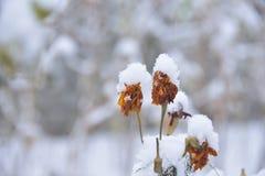在第一雪下的花 库存照片
