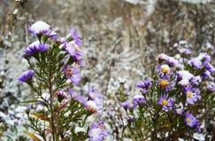 在第一雪下的草甸花 免版税库存照片