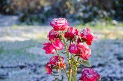 在第一雪的红色玫瑰 库存照片