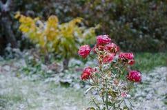 在第一雪的红色玫瑰 免版税库存图片
