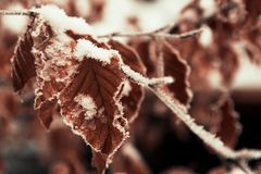 在第一雪的美丽的秋叶 冻结叶子 冬天 库存照片