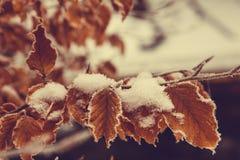 在第一雪的美丽的秋叶 冻结叶子 冬天 免版税库存图片