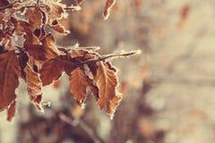 在第一雪的美丽的秋叶 冻结叶子 冬天 免版税库存照片
